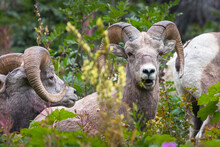 Multiple Bighorn Sheep In Glacier National Park, Montana, USA. Majestic Ovis Canadensis In Its Natural Habitat. Beautiful Wild Animals Feeding On Plants. Wildlife Of American Rockies