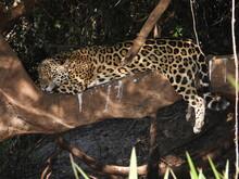 Jaguar Sleeping On The Tree In Pantanal