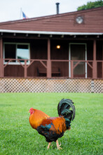 Colorful Rooster Profile View Walking In The Grass With Brown Building In The Background