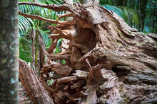 A Big Fallen Dead Tree, Exposing Its Huge Broken Roots, In The Gold Coast Hinterland Forest. Located In QLD, Australia. A Warm Summer's Day.