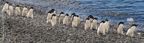 Fotografie, Obraz Penguin promenade