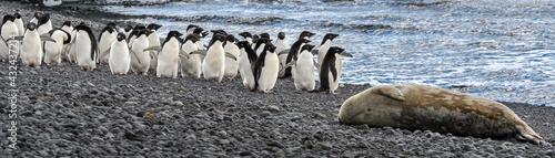 Obraz na plátně Penguin promenade