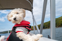 A Maltipoo Puppy On A Boat Ride Enjoys The Breeze