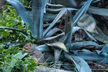 A Ground Squirrel Chews On A Leaf Near An Agave Plant