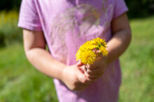 Closeup Detail Of Toddler Girl Holding Picked Bouquet Of Wild Yellow Dandelions