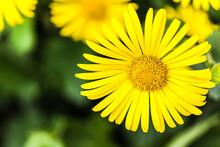Closeup Shot Of Yellow Doronicum Flowers Growing In The Garden