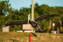 Brown Pelican In Flight Shot