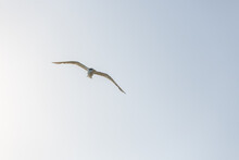 Australian Common Tern From Below Flying Against A Bright Sky