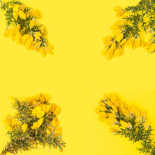 Four Gorse Hedging Branches With Flat Lay Arrangement On Splendid Yellow Background. Copy Space.