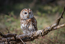 A Close Up Full Length Portrait Of A Tawny Owl, Strix Aluco, Facing Forward And Perched On Top Of An Old Branch
