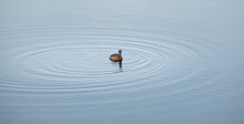 Little Grebe Isolated In A Clam Lake, Making Water Ripples As Duck Swims.