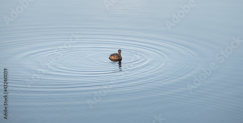 Canvas Print Little grebe isolated in a clam lake, making water ripples as duck swims