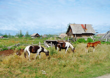 Crimea, Russia, Rural Landscape. Horses.  This Is A Special Breed Of Horses Extremely Hardy And Indefatigable.