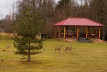 Three Roe Deer In The Countryside