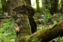 The Boa Constrictor (Boa Constrictor), Also Called The Red-tailed Boa Or The Common Boa, On The Old Branche.