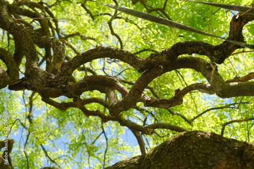 Un albero di sophora japonica ricoperto di foglie verdi in una giornata di primavera Fototapet