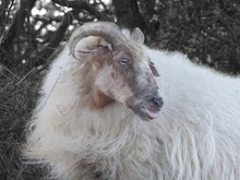 Mountain Sheep Sticks Its Tongue Out For The Camera.