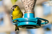 Siskin (Carduelis Spinus) Male Feeding On A Bird Feeder Which Is A Common Garden Yellow Green Songbird Bird Found In The UK And Europe, Stock Photo Image With Copy Space