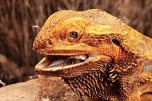 The Central Bearded Dragon , Or Dragon Agama (Pogona Vitticeps) Feeding The Insect In The Dry Habitat. Agama Portrait.