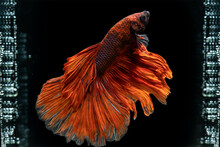 Colourful Betta Fish,Siamese Fighting Fish In Movement Isolated On Black Background. Capture The Moving Moment Of Colourful Siamese Fighting Fish Isolated On Black Background