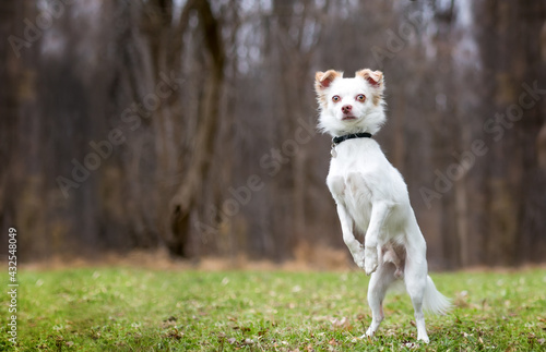Obraz na plátně A Chihuahua mixed breed dog standing up on its hind legs and begging