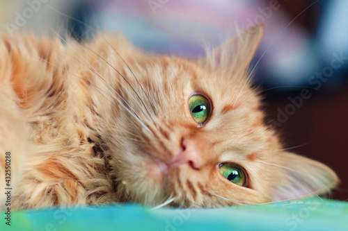 Fotografie, Obraz Ginger cat face with bright green eyes close up, selective focus