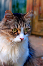 Brown And White Beautiful Fluffy Cat