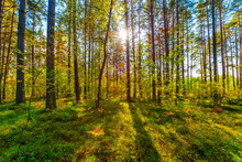 The Sun Shines Through The Trees In The Pine Forest On A Clear Summer Day
