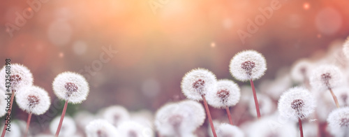 Summer field with fluffy dandelion flowers and in evening sunset lights. Beautiful nature landscape.