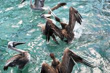 Flock Of Fighting Brown Pelicans In The Water