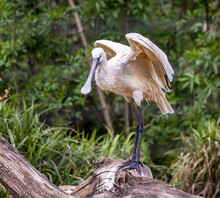 Spoonbill With Wings Raised