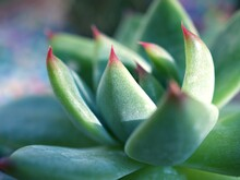 Closeup Succulent Plants (Echeveria Pulidonis) With Sunlight Soft Focus And Blurred Background , Macro Image For Card Design