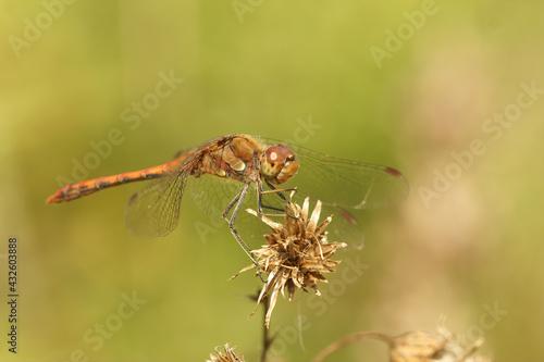 Fototapeta Male Ruddy Darter on a dry flower against a green blurred background