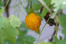 Close-up Of Yellow Gourd On The Tree.