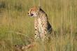 canvas print picture An alert cheetah (Acinonyx jubatus) sitting in natural habitat with prey, South Africa.