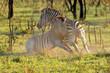 canvas print picture Two plains zebra stallions (Equus burchelli) fighting, South Africa.