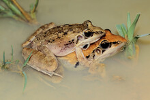 A Pair Of Plain Grass Frogs (Ptychadena Anchietae) Mating In Shallow Water, South Africa.