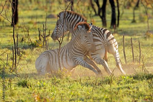 Naklejka premium Two plains zebra stallions (Equus burchelli) fighting, South Africa.