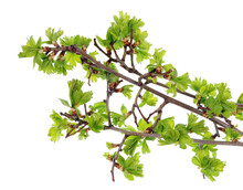 Spring April  Forest Thorny Hawthorn  Leaves And Buds  Isolated