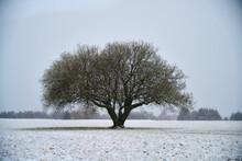 Lone Tree In Light Snowfall Winter Field