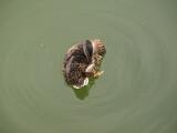 Fototapeta Fototapety do łazienki - Dzika kaczka w jeziorze