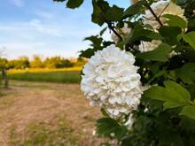 White Flower Of Viburnum Opulus, Common Name Guelder Rose Or Snowball Flower. Concept For Botany, Gardening, Spring Time