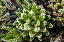 Pianta Grassa Aloe Succulenta
