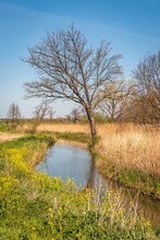 Narrow Stream Meanders Through The Landscape. Spring Has Started In The Netherlands. The Reed Is Still Dry And Yellowed, But The Rapeseed Is Already In Full Bloom.