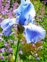 Blue Tall Bearded German Iris Flower In The Garden