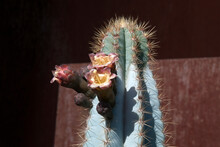 Sydney Australia, Flowers And Bud Of A Blue Columnar Cactus