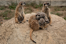 Little Meerkats Bask In The Sun. A Group Of Animals At The Zoo.