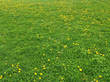 Closeup Shot Of A Green Meadow With Small Yellow Wildflowers