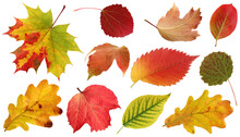 Collection Of Autumn Leaves Isolated On White Background.