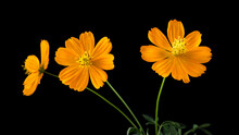Coreopsis, Often Called Calliopsis Or Tickseed, Bright Orange Flowers Isolated On Black Background